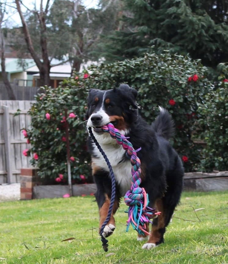 Border Collie/Dachshund Dog Running In A Garden With A Long Purple Rope Toy